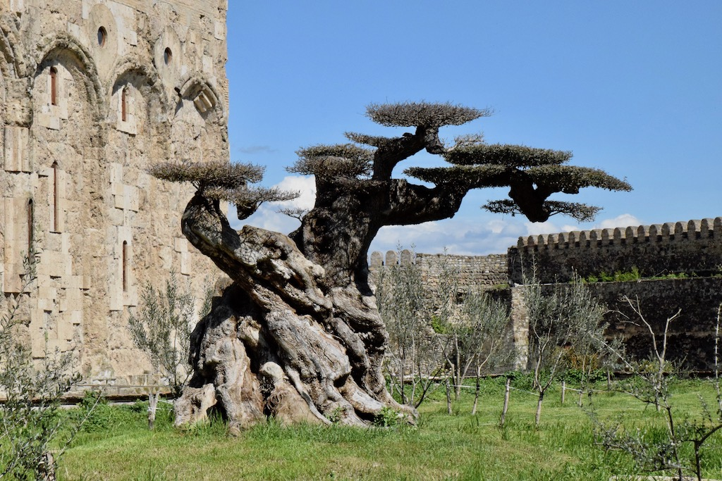 Baum im Kloster Alaverdi  - Kachetien