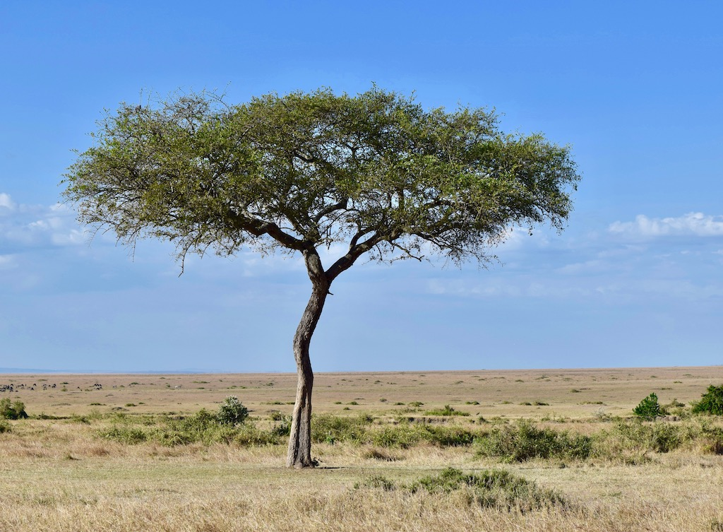Baum in Savanne, Kenia, Afrika
